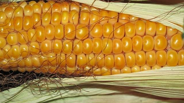 Mais roh genießen – Lecker sowie Gesund