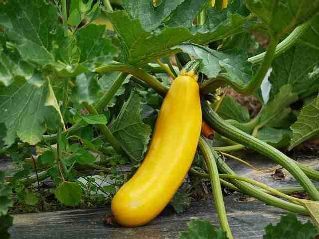 Zucchini Pflanze: Anbau und Pflege