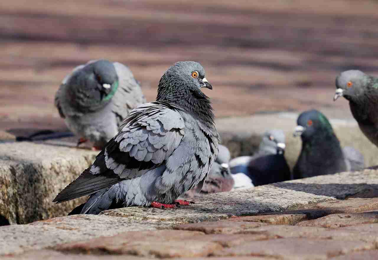 Tauben bekämpfen
