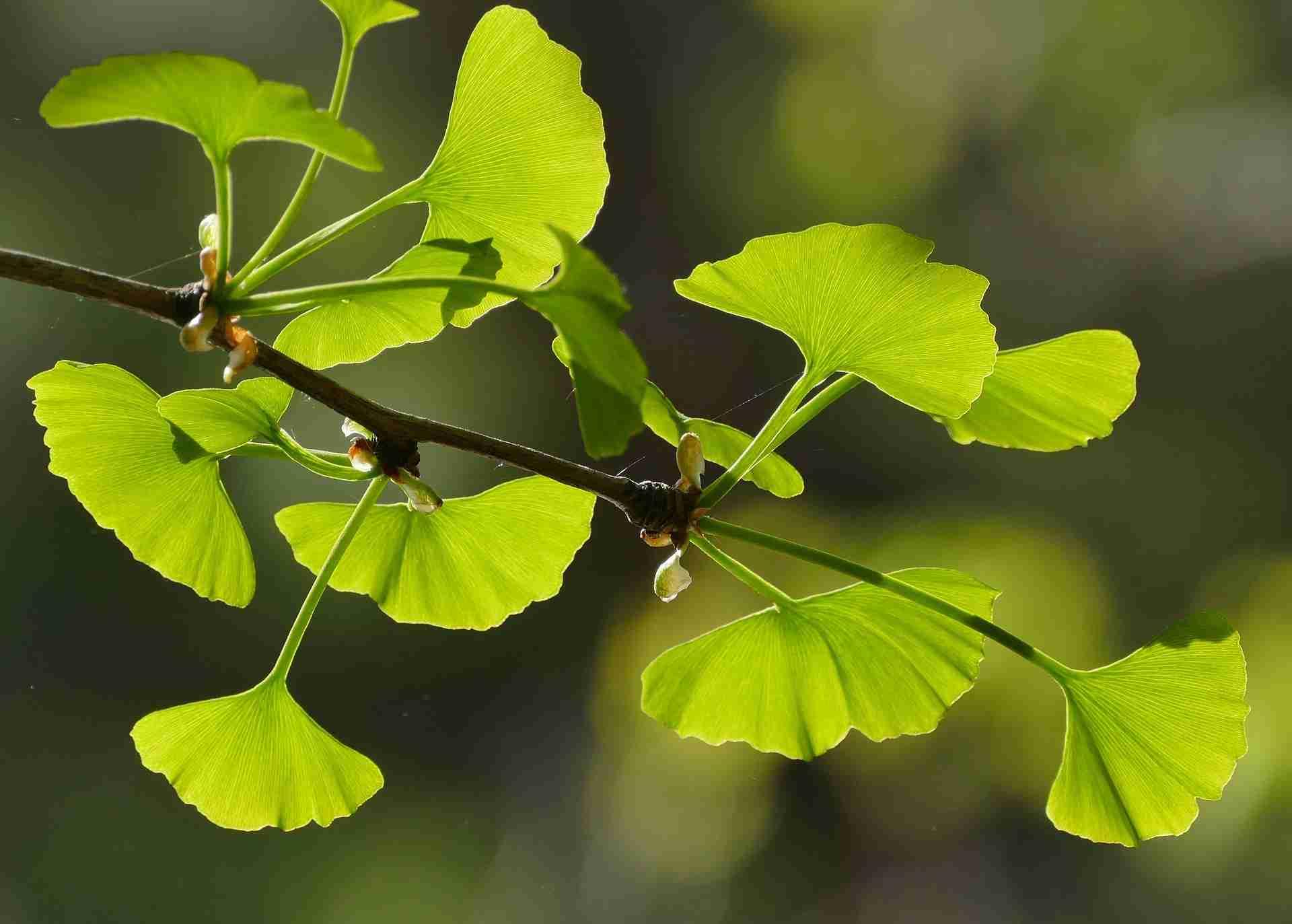 Ginkgo pflanzen