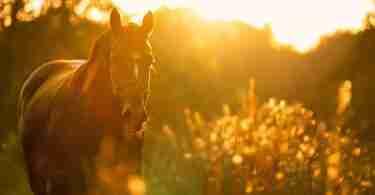 Pferd Kieselerde