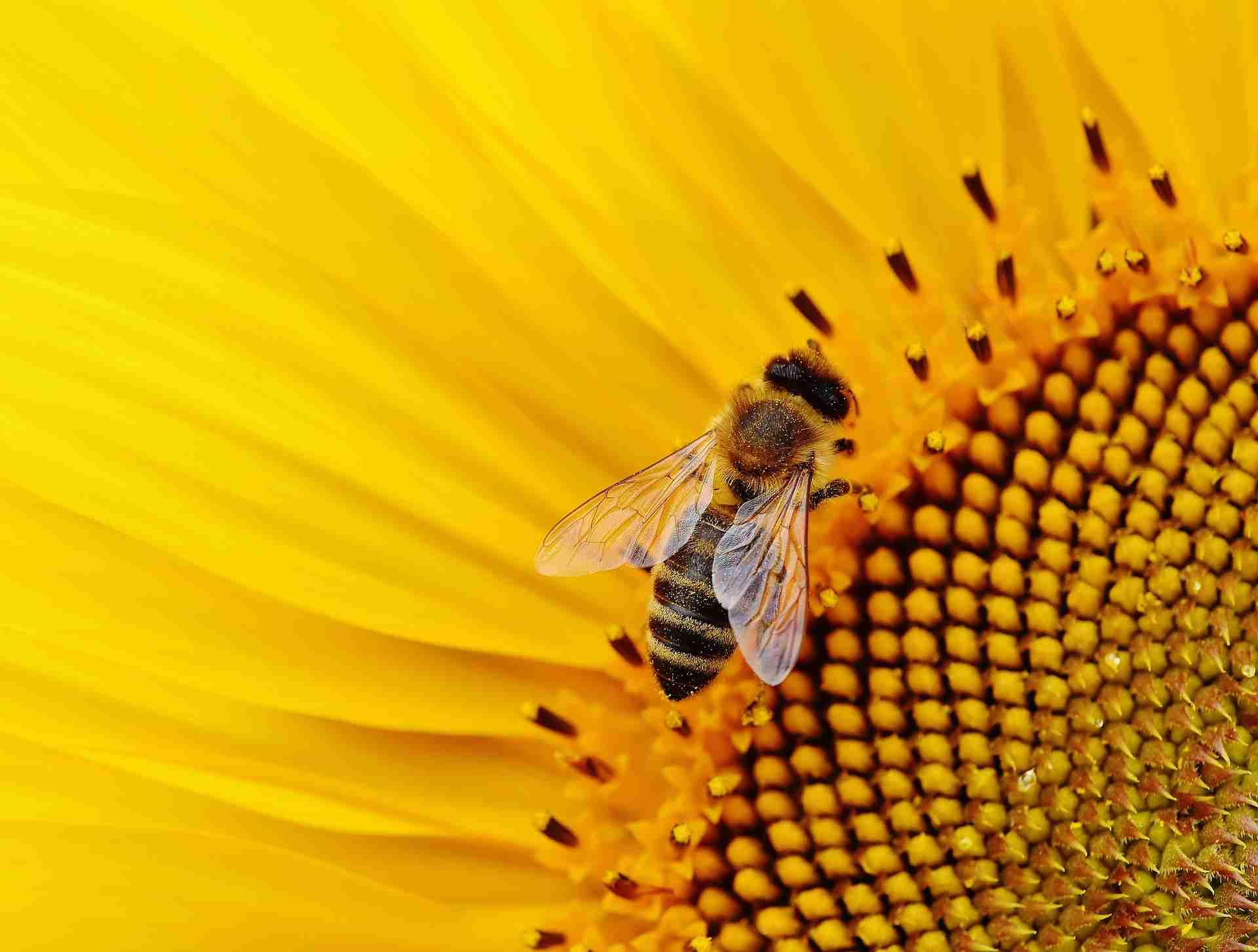Bienenstich behandeln
