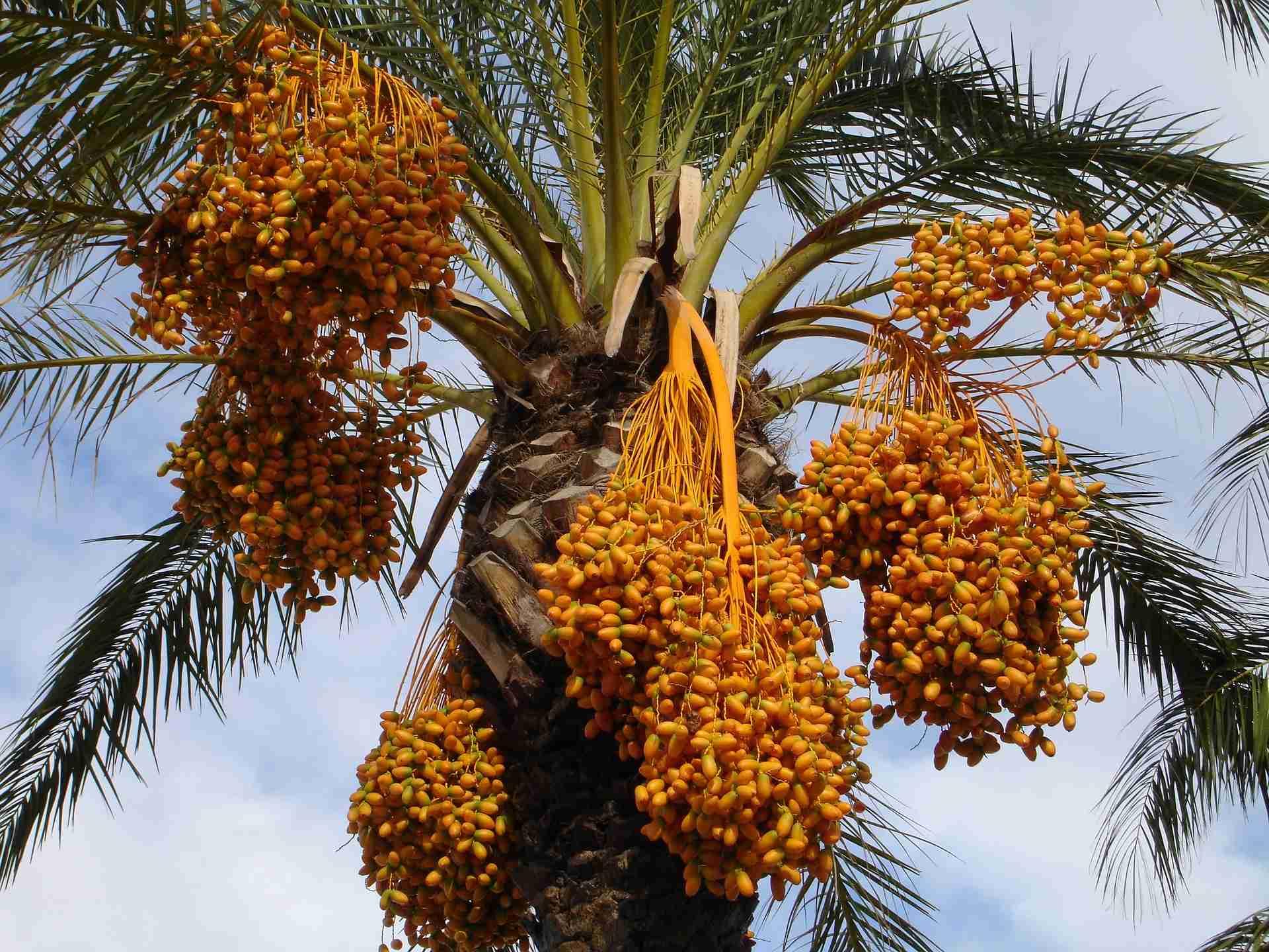 Dattelpalme pflanzen