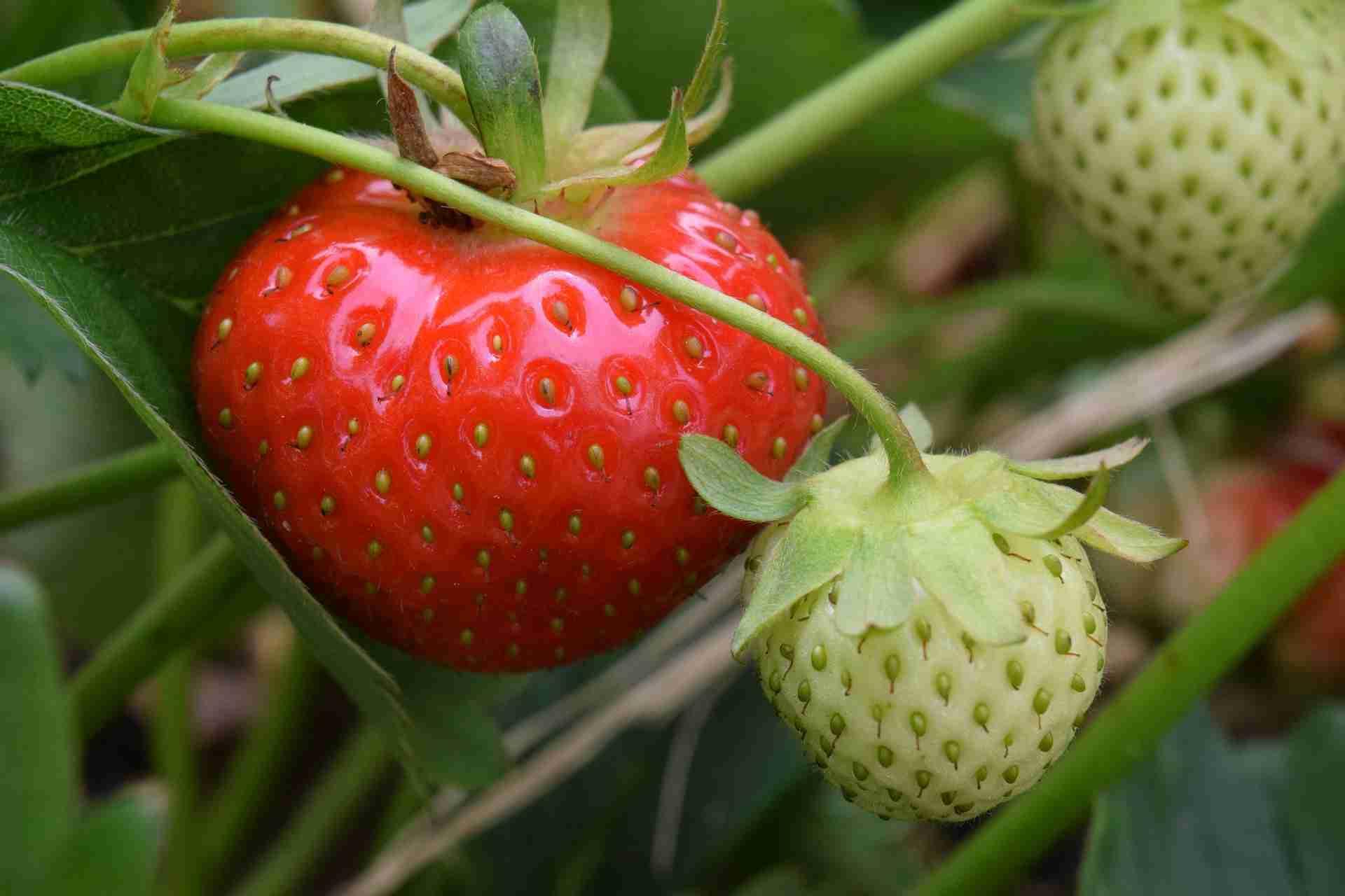 Erdbeerpflanze gießen