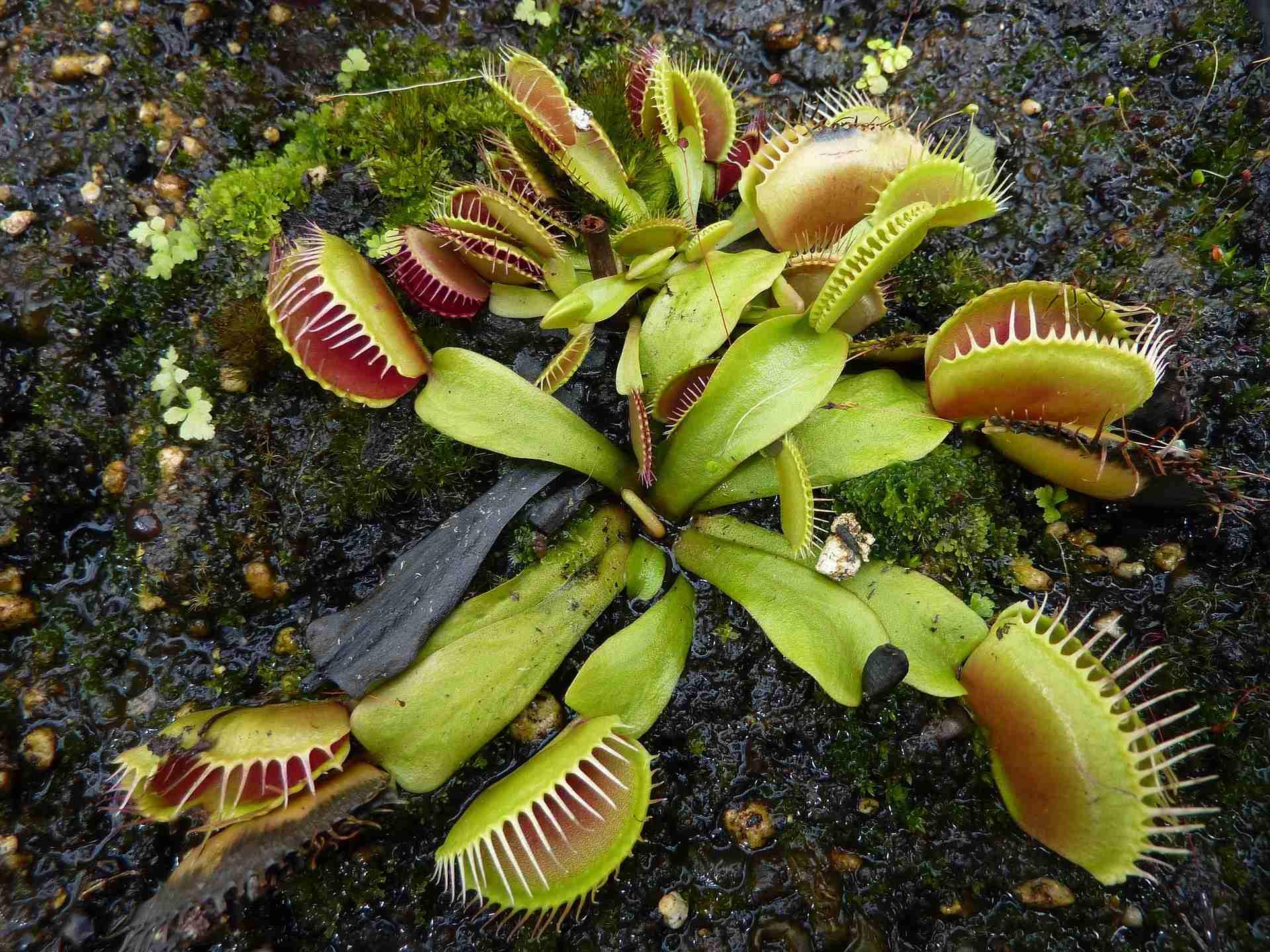 Fleischfressende Pflanze umtopfen