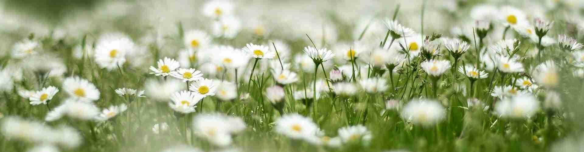 Gänseblümchen pflanzen