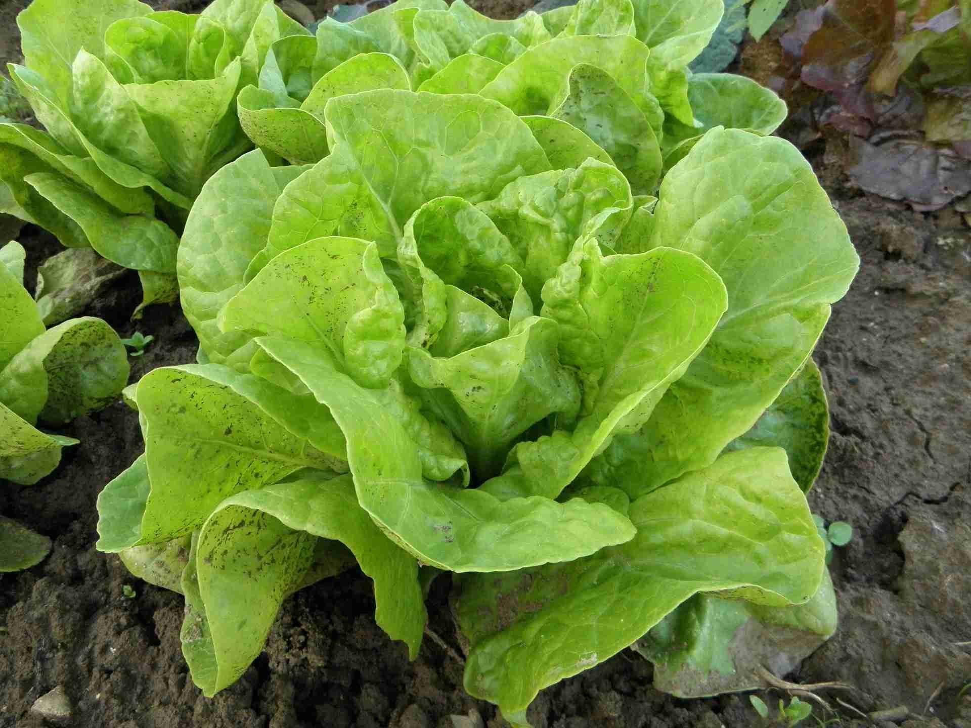 Kopfsalat ernten