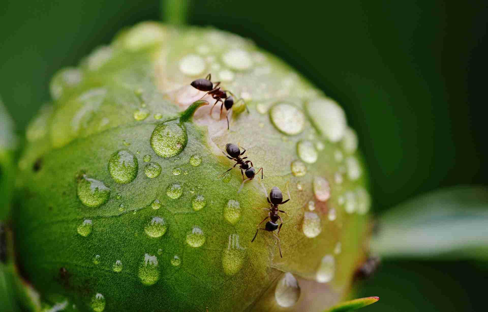 Ameisenplage bekämpfen