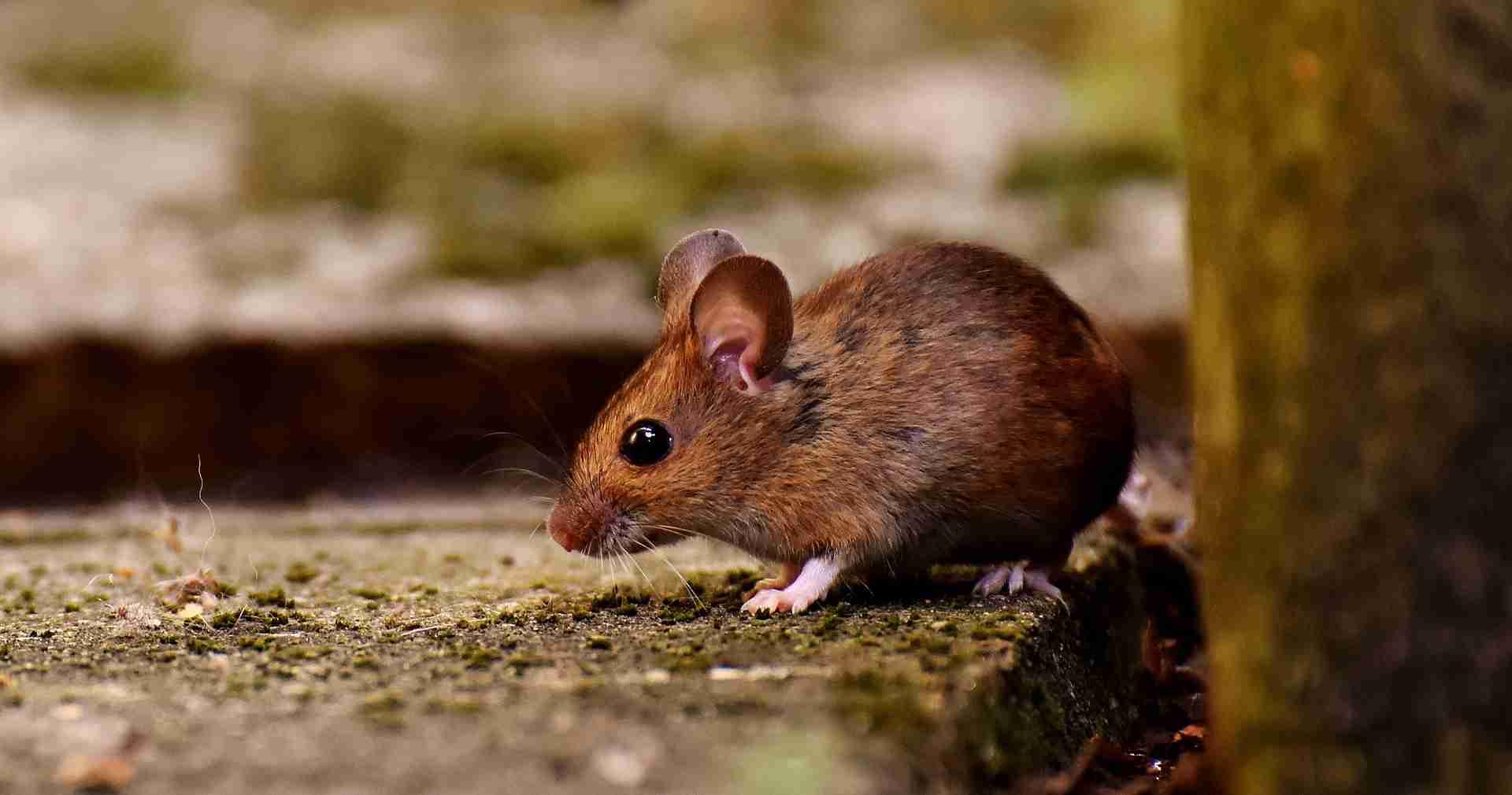 Mäuse Pfefferminzöl
