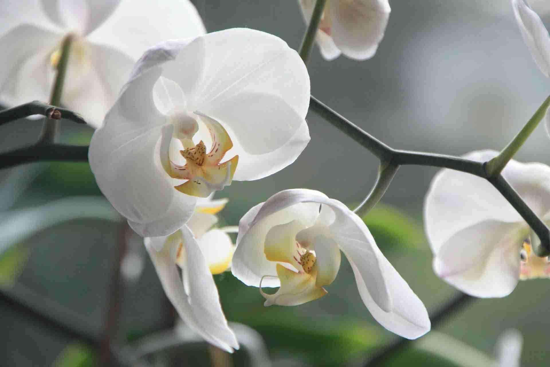 Orchideen Läuse