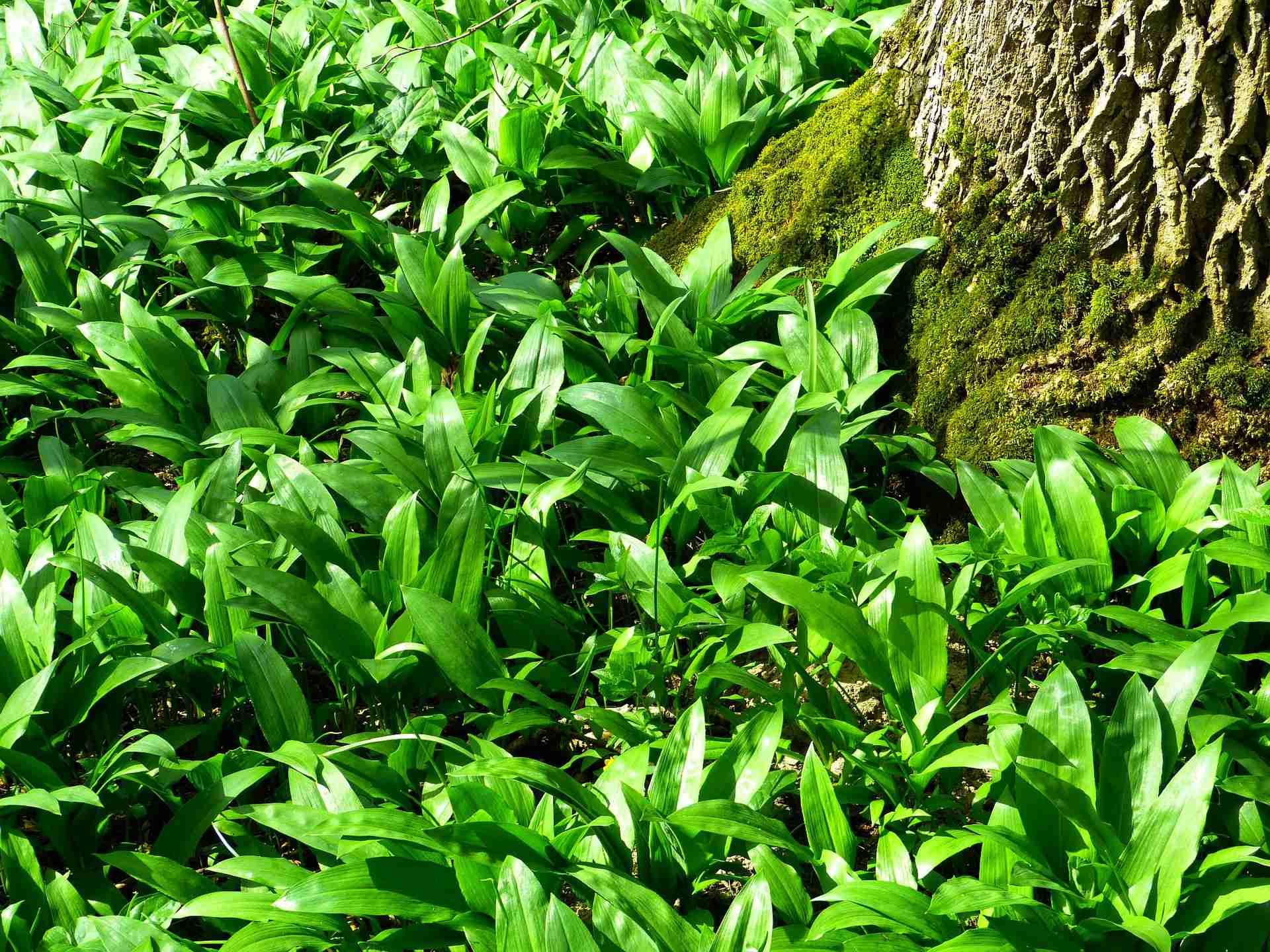 Bärlauch anpflanzen Tipps