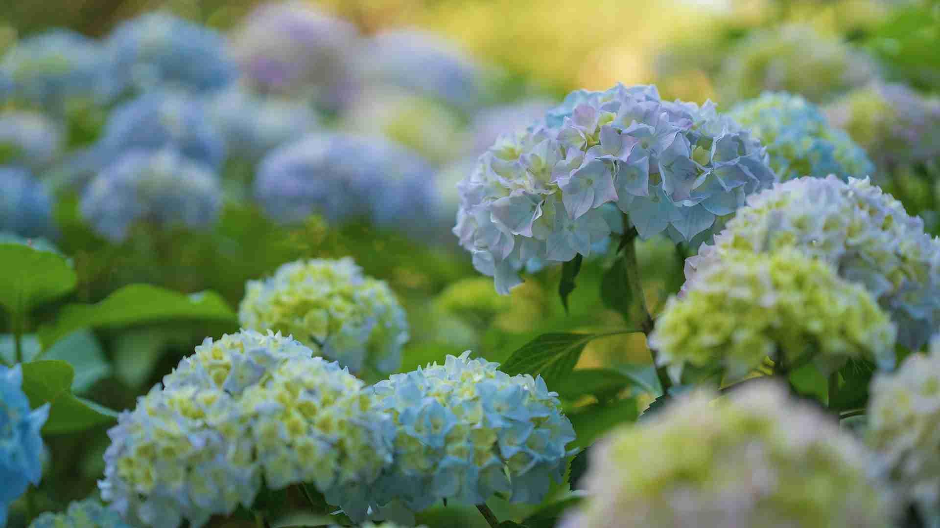 Hortensien Blütezeit