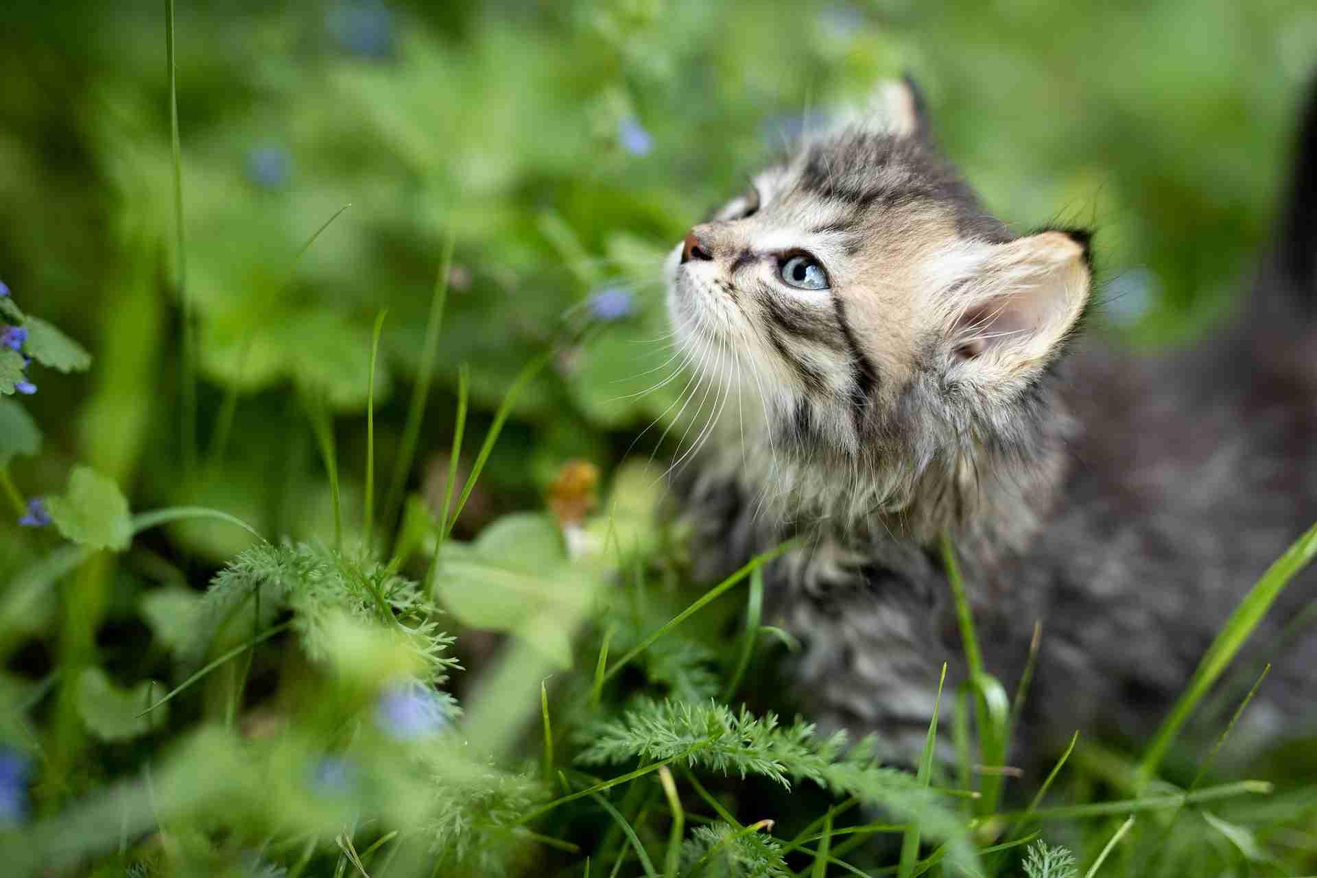 Katzen Basilikum giftig