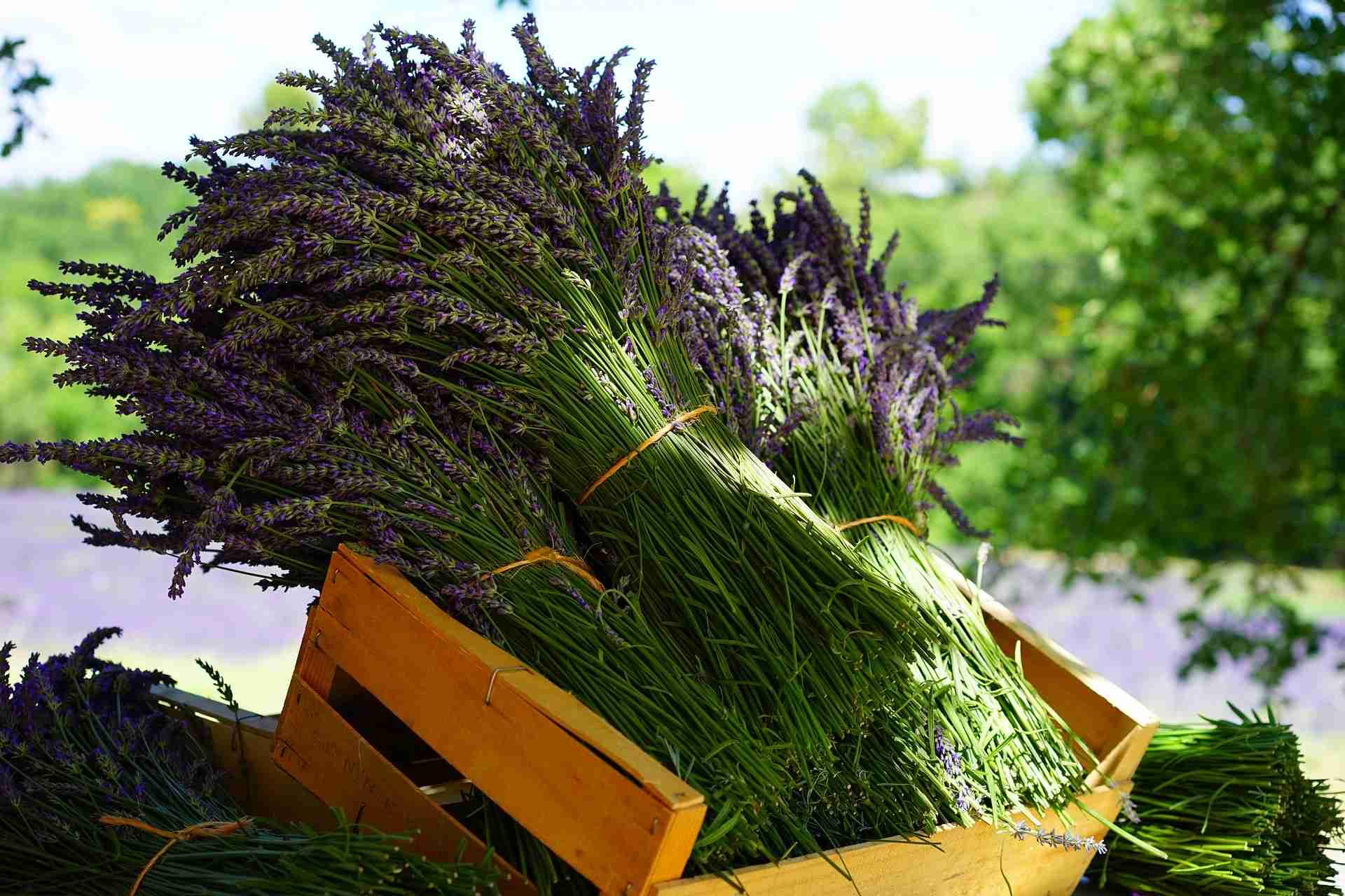 Lavendel trocknen Anleitung