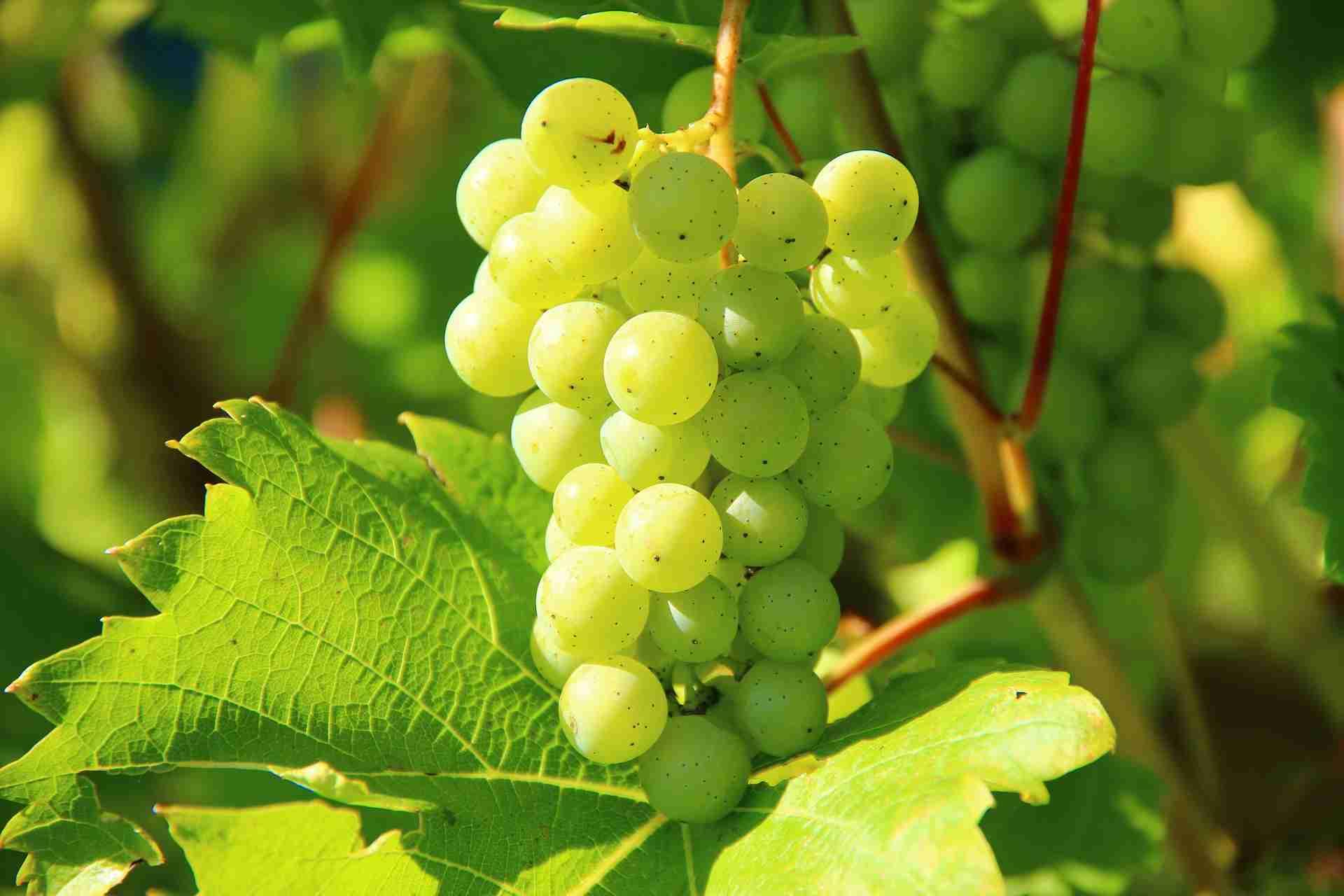 Weintrauben ernten