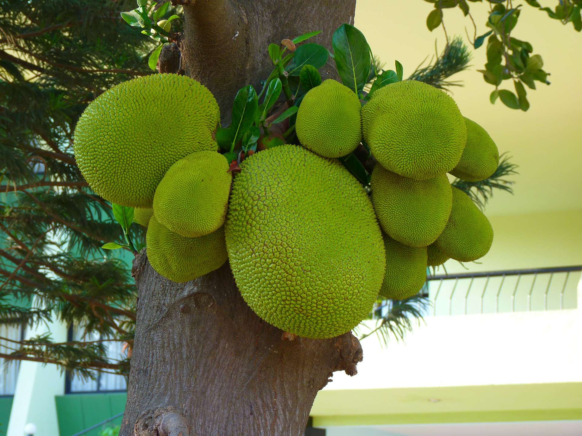 Jackfruit gesund