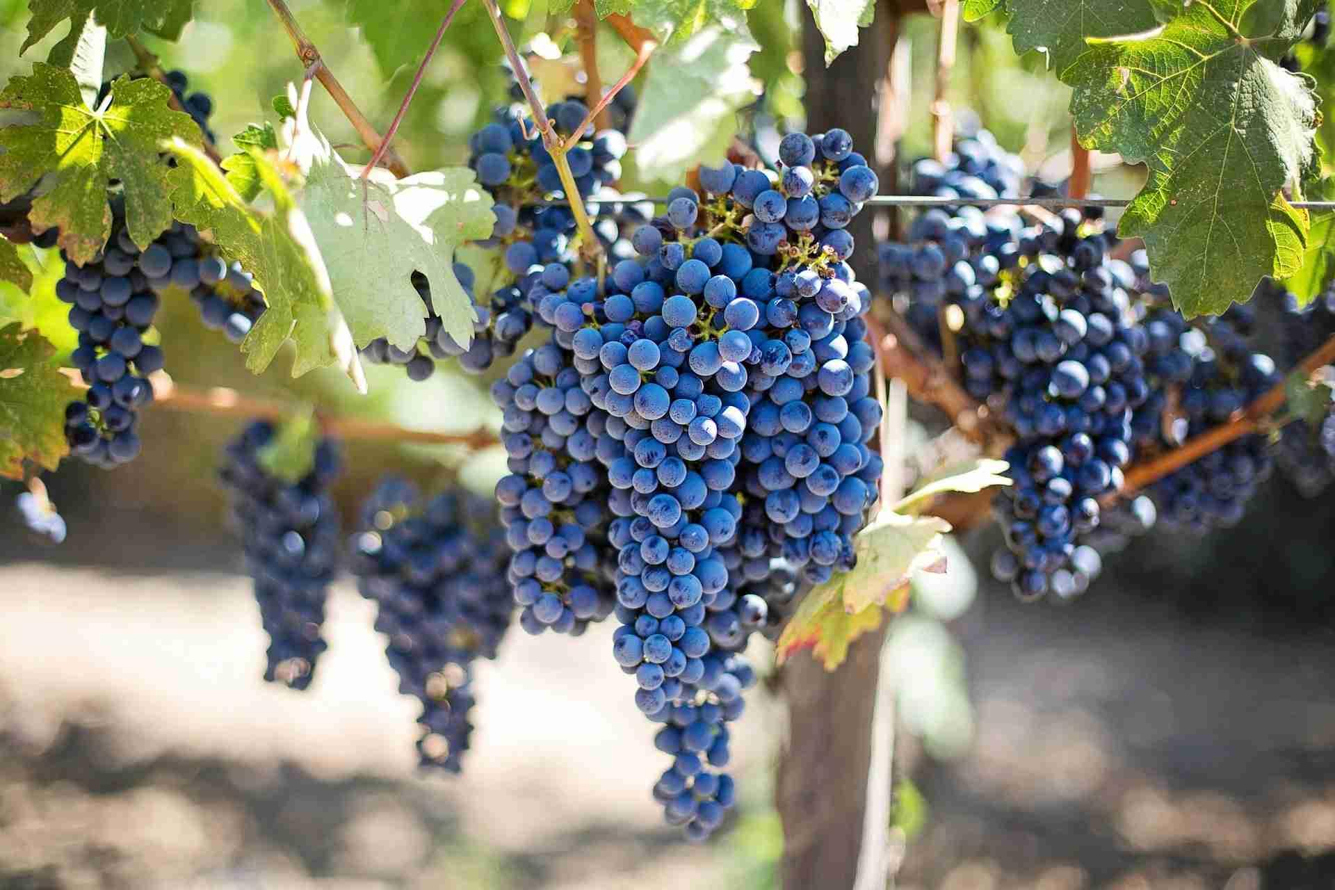 Weintrauben Kerne gesund