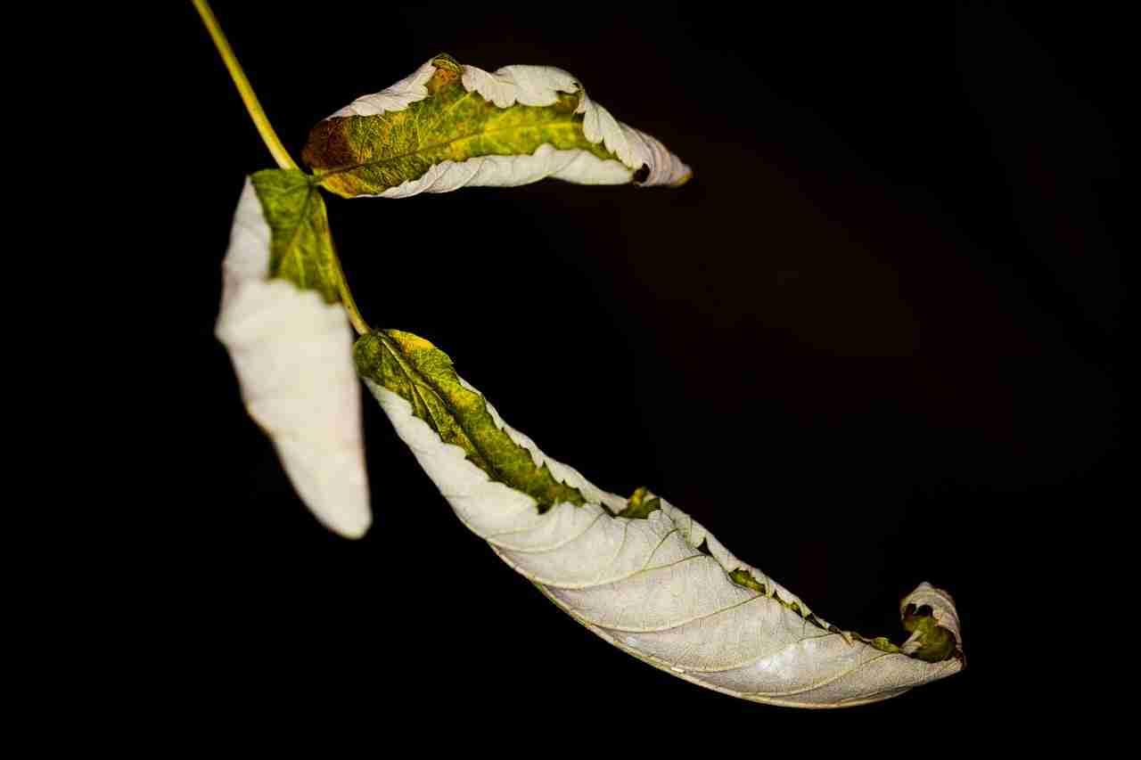 Blätter eingerollt Pflanze