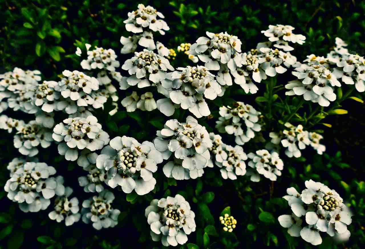Schleifenblume vermehren