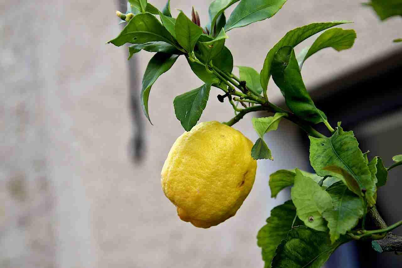 Zitronenbaum züchten